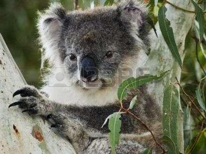 Koala's Can be found just across the road next to the O'Bhan Rail Line