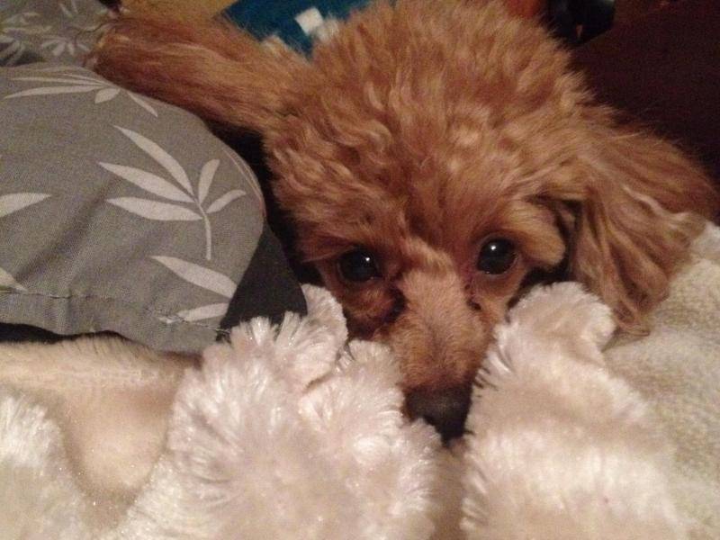 Rusty the toy poodle