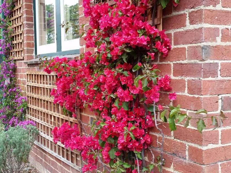 Bougainvilleas on the front wall