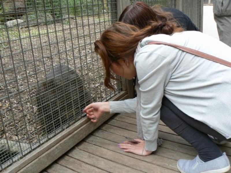 Wombat harassment