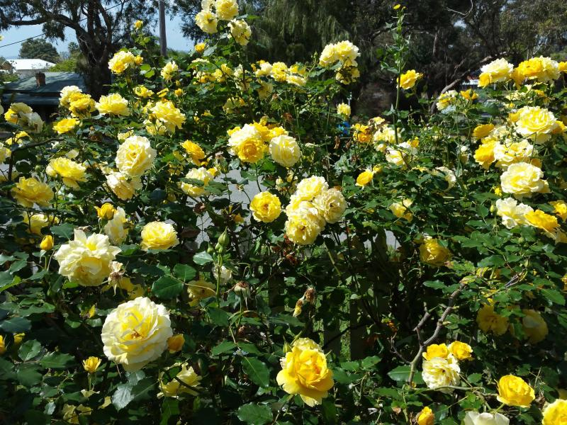 Gold Bunny Rose, putting on a show, Oct to Dec each year.