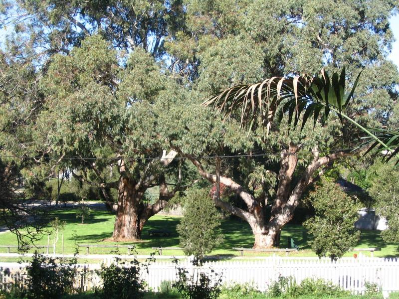 Giant old Eucalyptus Trees in Kelly Park, Bassendean