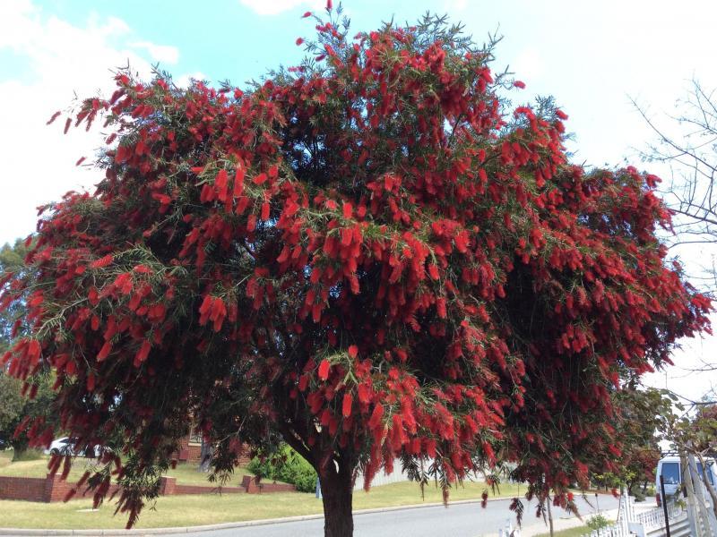 An Australian Bottlebrush Tree in full flower in Bassendean, Western Australia