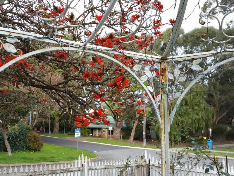 The Flame Tree - flowering in July/August - be entertained by the numerous birds that flock to this tree each winter.