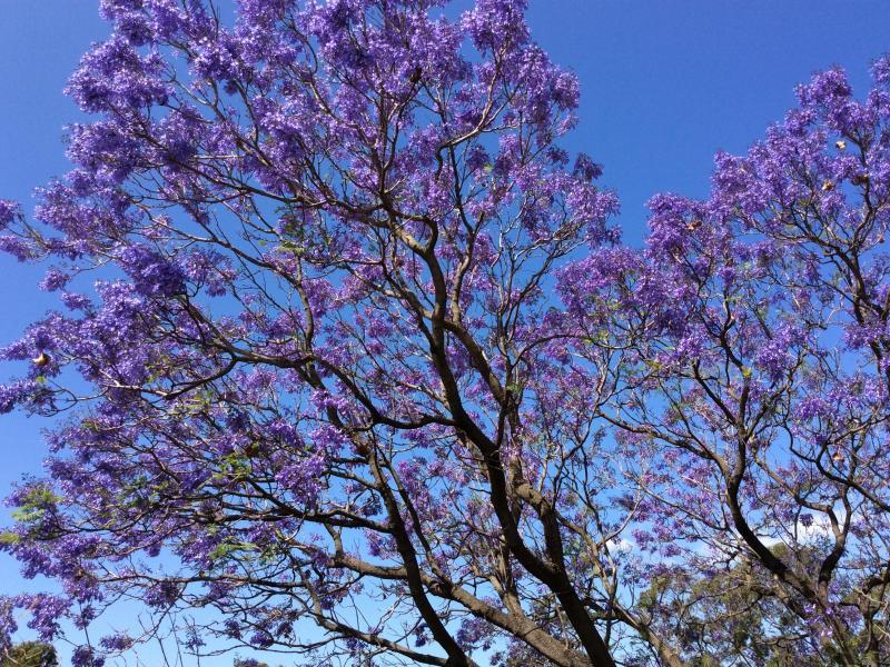 Jacaranda time is November in Perth